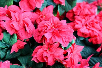 Papiers peints Azalea Poinsettia flower garden dark red