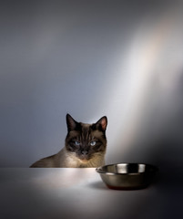 Siamese cat sitting at the table in front of an empty bowl and waiting for food. space  text