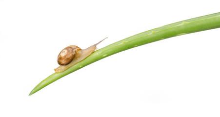 Snail walking on aloe vera isolated on white background