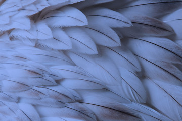 Blue fluffy feather closeup