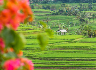 Rice Terraces, banana trees and coconut palms on a rainy day in Jatiluwih, in Bali, Indonesia, with bougainvillea flowers in the foreground.