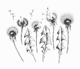 Black isolated dandelion flowers and leafs' set