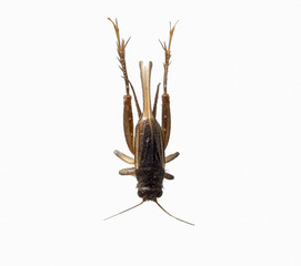 Cricket brown insect small isolated on white background, top view