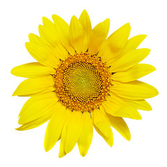 Sunflower rosette