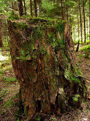 Stump covered with moss in wood