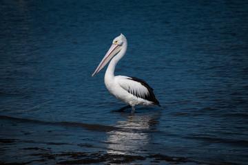 Pelican in the bay