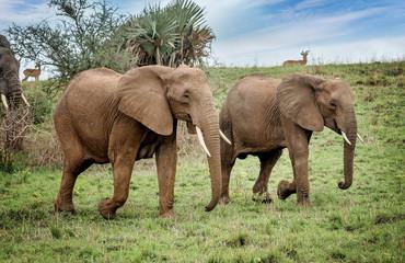 African elephants in National Park, Uganda