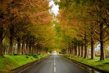 滋賀マキノ町 メタセコイア並木