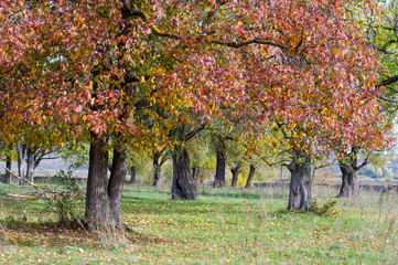 Autumn, elm with bright red leaves. a tall deciduous tree that t