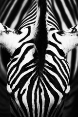 Monochromatic image of a the face of a Grevy's zebra. Skin of an African zebra, zebra background, black and white stripes.