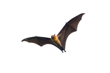 Bat flying on white background