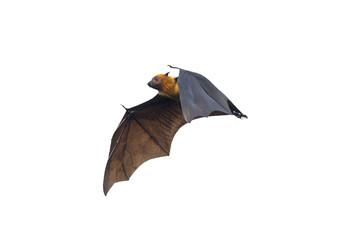 Bat flying on white background