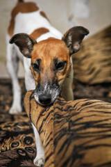 Dog fox terrier indoors closeup