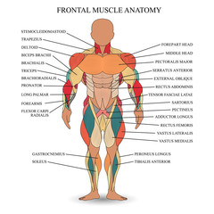 Anatomy of human muscles in the front, a template for medical tutorial, banner. Vector illustration.