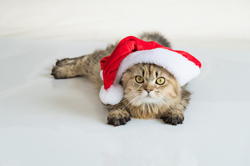 Persian cat in christmas