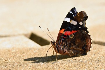Beautiful butterfly sitting on the ground. (Vanessa atalanta Linné)