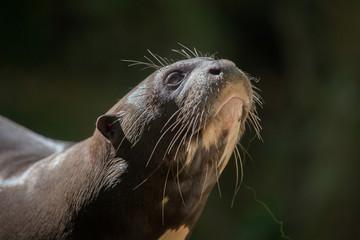 Giant otter (Pteronura brasiliensis).