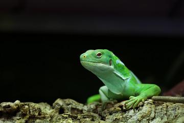 Fiji banded iguana (Brachylophus fasciatus).