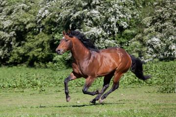 Nice quarter horse running