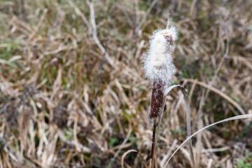 Bulrush plants in the swamp