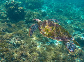 Green turtle swimming in the sea. Snorkeling with turtle.