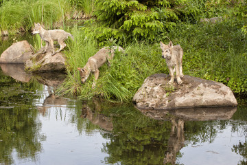 Three Wolf Puppies by the Water