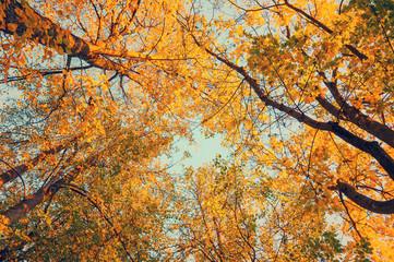Autumn trees - orange autumn trees tops against the sky. Autumn natural view of autumn trees