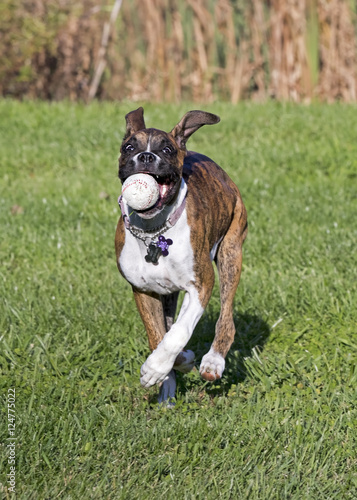 Boxer Puppy Dog Running After Fetching A Ball Stock Photo And