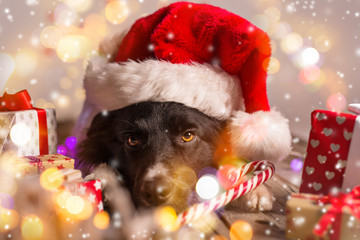 Border collie in santa cap