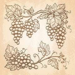 Grape branches on old paper background.