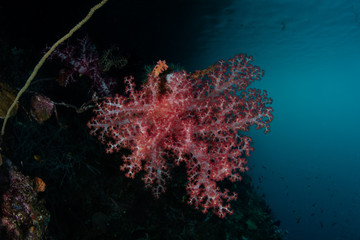 Dendronephthya Soft Coral Colony in Raja Ampat