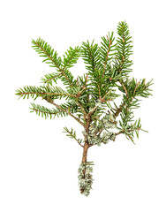 Pine sprig. Fresh green fir branches. Christmas tree isolated on
