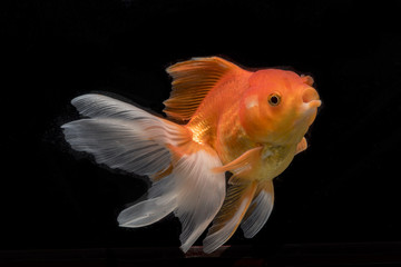 Beautiful fantail goldfish movement, Capture movement goldfish on dark background
