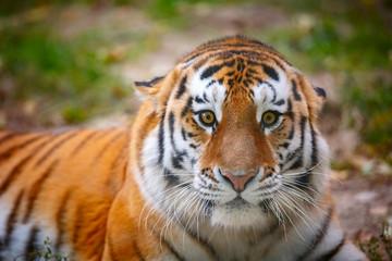 Молодой уссурийский тигр смотрит в камеру