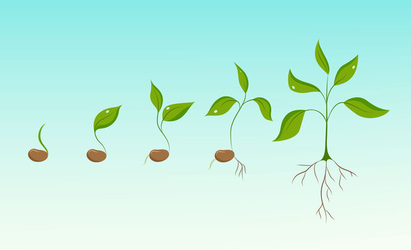 Plant growth evolution from bean seed to sapling