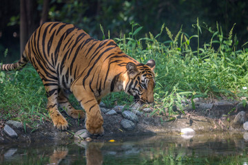 Bengal tiger at a waterhole to drink at Sunderban National Park.