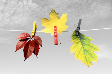 Autumn leaves. Autumn leaves background. Color autumn leaves. Abstract photo with elements of black and white.
