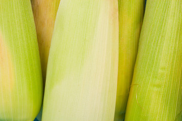 raw ear of  sweet corn on cobs kernels or grains of ripe corn on white background  vegetable isolated