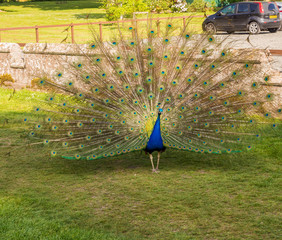 Male peacock displaying his plumage at Scone Plaace, Pethshire, Scotland, UK