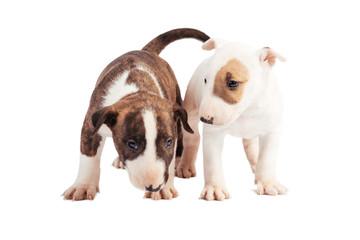 Bull Terrier puppy