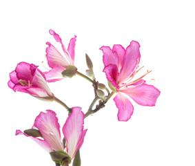 Garden Poster Magnolia Hong Kong Orchid