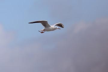 Slender-billed Gull (Larus genei) in flight, Merja Zerga, Morocco.