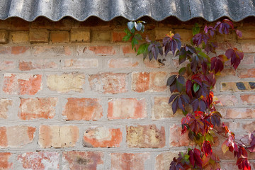 Garden wild grapes with autumn leaves on a brick wall.