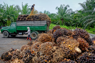 Oil palm plantation worker unloads a truck.