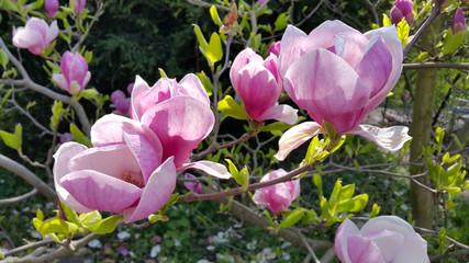 Beautiful flowers of magnolia