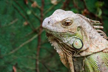 Iguana Reptile Portrait
