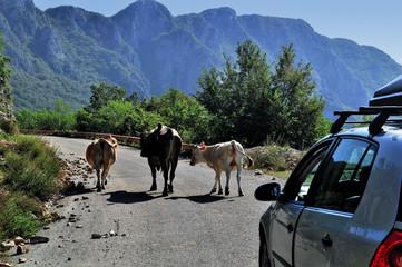 Viehtrieb auf Montenegros Bergstraße