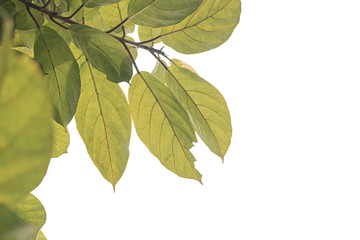 green leaves ,white background