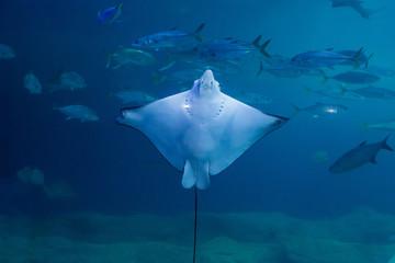 Tropical Fish, Manta Ray