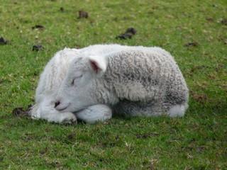 Sheep Sleeping - Lake District